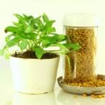Bockshornklee Pflanze und Samen